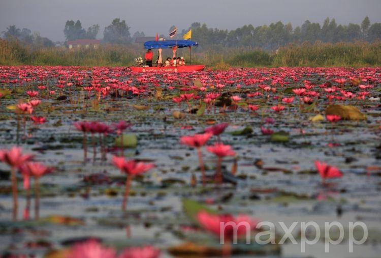 Thaïlande : la Mer de Lotus Rouges en pleine floraison